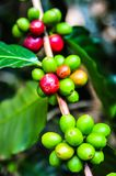 Colorful color of coffee beans on tree branch. Organic of colorful coffee cherries on tree branch in the garden,Thailand Royalty Free Stock Photography