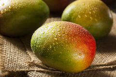 Organic Colorful Ripe Mangos Stock Photos