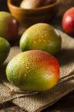 Organic Colorful Ripe Mangos Royalty Free Stock Photo