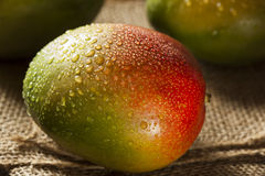 Organic Colorful Ripe Mangos Stock Image