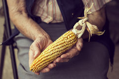 Organic corn cob. Close up of wrinkled woman`s hands holding a corn cob after harvesting. Selective focus Royalty Free Stock Photography