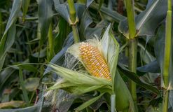 Organic corn. In a corn field wait to be harvested for market Stock Images