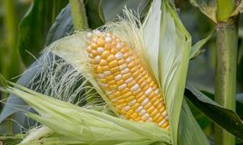 Organic corn. In a corn field wait to be harvested for market Royalty Free Stock Images