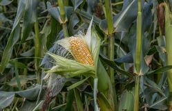 Organic corn. In a corn field wait to be harvested for market Stock Photos