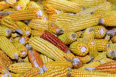 Organic corn Royalty Free Stock Photography