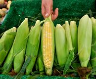 Organic corn at farmers market Royalty Free Stock Photo