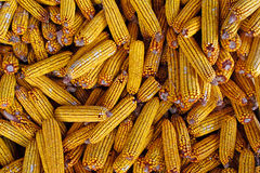 Organic corn feed  stored for winter Stock Photography