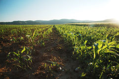Organic corn field Royalty Free Stock Images