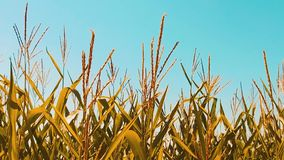Organic corn field dry ripe corn the agriculture. concept lifestyle corn harvesting agriculture natural products