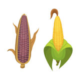 Organic Corn Isolated on White Background. Agriculture farm vegetable for popcorn vector. Corncob with leafs vegeterian. Organic Corn Isolated on White Stock Photography