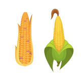 Organic Corn Isolated on White Background. Agriculture farm vegetable for popcorn vector. Corncob with leafs vegeterian. Organic Corn Isolated on White Stock Photo