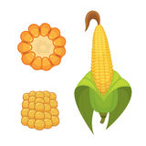 Organic Corn Isolated on White Background. Agriculture farm vegetable for popcorn vector. Corncob with leafs vegeterian. Organic Corn Isolated on White Stock Image