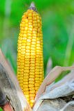 Organic corn. Maize is the most widely grown grain crop throughout the Americas Stock Image