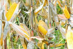 Organic corn. Maize is the most widely grown grain crop throughout the Americas Stock Photography