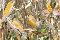 Organic corn. Maize is the most widely grown grain crop throughout the Americas Royalty Free Stock Image
