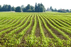 Organic corn plants Stock Image