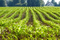 Organic corn plants Stock Photography