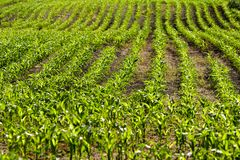 Organic corn plants Royalty Free Stock Images