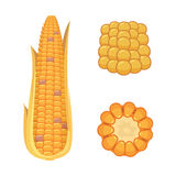 Organic Corn  on White Background. Agriculture farm vegetable for popcorn vector. Corncob with leafs vegeterian. Organic Corn  on White Background. Agriculture Stock Images