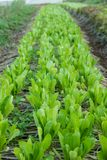Organic Cos salad in garden. Stock Photo