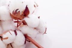 Organic cotton plant. White soft organic cotton plant Stock Photo