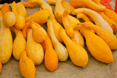 Organic Crookneck Squash. Fresh organic yellow squash at the local farmers market Royalty Free Stock Photo