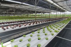 Organic crops growing. Organic crops growing in plastic covered greenhouse Royalty Free Stock Images