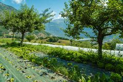 Organic crops in the mountains in France. In the summer Royalty Free Stock Images