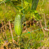 Organic cucumber on a garden bed Royalty Free Stock Image
