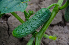 Organic cucumber Stock Photo