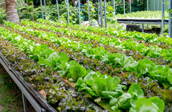 Organic cultivation different kinds of lettuce Royalty Free Stock Image
