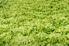 Organic cultivation of endive Royalty Free Stock Photos