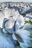 Organic cultivation of red cabbages Stock Image