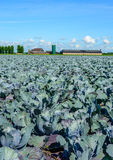 Organic cultivation of red cabbages in the summer season Stock Photos
