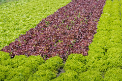 Organic cultivation of various lettuces and endives Stock Photography