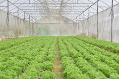Organic cultivation of vegetables in greenhouses Royalty Free Stock Image