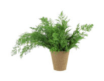 Organic dill herb in peat pot Stock Photo