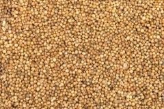 Organic Dried coriander seeds (Coriandrum sativum) closeup background texture. Organic Dried coriander seeds (Coriandrum sativum) closeup background texture royalty free stock photography