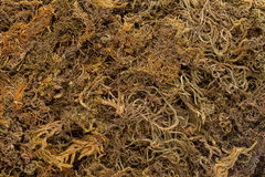 Organic Dried Moss Grass (Polytrichum commune). Royalty Free Stock Photography