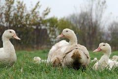 Organic ducks Royalty Free Stock Photos