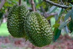 Organic durian in rayong. The organic durian in rayong is very good taste and good quality Royalty Free Stock Photos