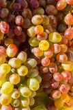 Organic / eco grapes Royalty Free Stock Photo