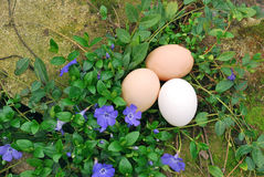 Organic Eggs in Garden. Three organic eggs in with flowers and mossy garden rocks Royalty Free Stock Photos