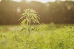 Hemp plants growing in a industrial farm royalty free stock photos