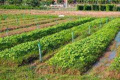 Organic farm in countryside. Vegetable garden Stock Photo