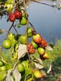 In organic farm land, Ziziphus jujuba, red date, Chinese, Korean, or Indian date Royalty Free Stock Photo