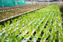 Organic farm. Photograph of hydroponic vegetable farm Royalty Free Stock Photo