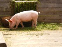 Organic farm  pink pig eating Royalty Free Stock Images