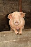 Organic farm pink pig Stock Photo