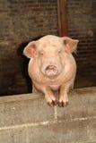 Organic farm pink pig Stock Photo